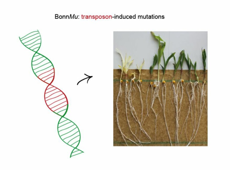 Right click to download: BonnMu: transposon-induced mutations