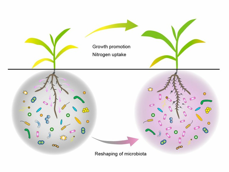 Right click to download: Beneficial interactions between plant roots and rhizosphere microorganisms
